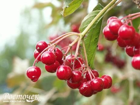 Калина - ягоды калины напоминают по вкусу смородину.  В их состав входят пектин, сахара, органические кислоты...